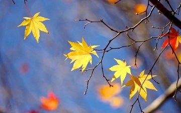 листья, макро, ветки, осень