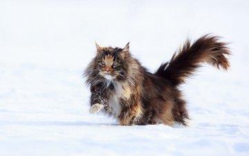 зима, кот, мордочка, усы, кошка, взгляд, мейн-кун, nika petrova