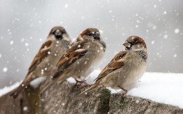снег, зима, птицы, клюв, перья, воробьи