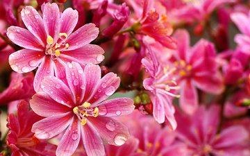 flowers, macro, drops, petals, leviziya
