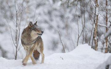 зима, хищник, волк