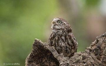 owl, nature, bird, lynn griffiths, bird of prey