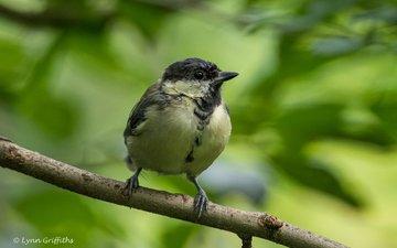 branch, blur, bird, beak, feathers, tit, lynn griffiths
