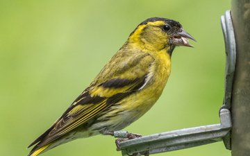 bird, beak, feathers, lynn griffiths, siskin