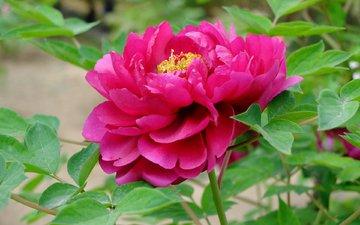 flower, peony