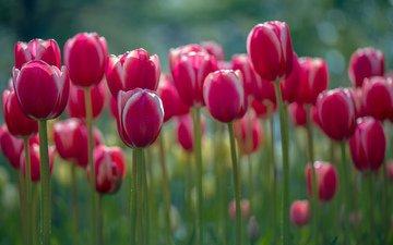 цветы, весна, тюльпаны, стебли, lynn wiezycki