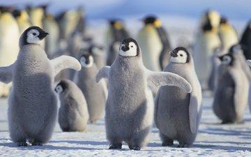 птицы, пингвины, птенцы, арктика