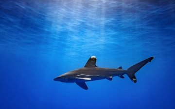 the ocean, shark, underwater world