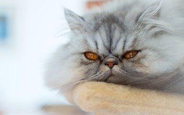 cat, muzzle, mustache, look