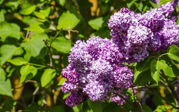 цветы, природа, цветение, листья, ветки, весна, сирень, aristovart