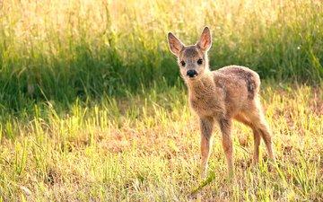 трава, олень, мордочка, взгляд, детеныш, олененок