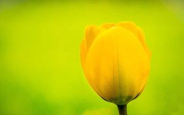 yellow, flower, bud, tulip, flemming ege