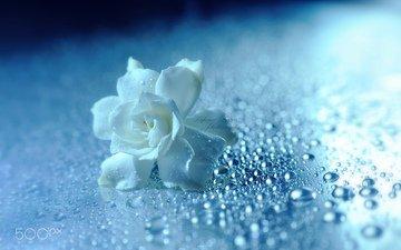 flower, drops, rose, petals, white, lafugue logos