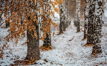 trees, snow, nature, forest, leaves, winter, trunks, birch
