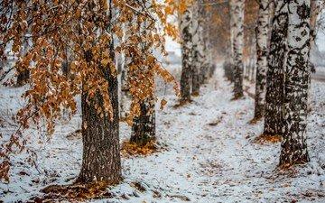 деревья, снег, природа, лес, листья, зима, стволы, березы