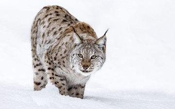 снег, зима, рысь, мордочка, взгляд, хищник, большая кошка, andy astbury