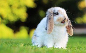 трава, мордочка, взгляд, кролик, уши, заяц, грызун