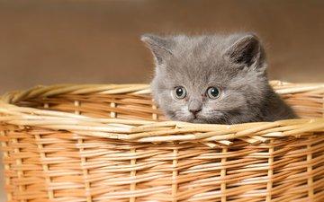 кот, мордочка, усы, кошка, взгляд, котенок, корзина
