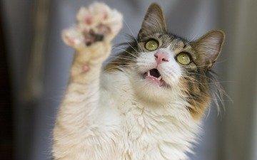 кот, мордочка, усы, кошка, взгляд, лапка