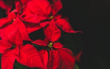 flower, karolina grabowska, poinsettia, christmas star