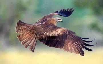 полет, крылья, птица, клюв, перья, коршун, max rinaldi