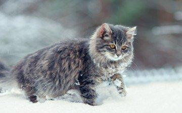 snow, winter, cat, muzzle, mustache, look