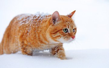 snow, winter, cat, muzzle, mustache, look, red
