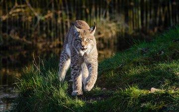 lynx, predator, big cat