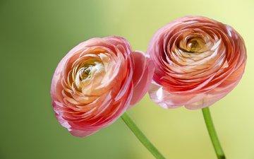 flowers, macro, petals, stems, ranunculus, buttercups