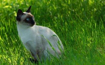 трава, кот, мордочка, усы, кошка, взгляд, сиамский