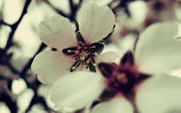 цветы, цветение, макро, весна