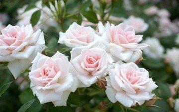 flowers, leaves, roses, petals, bush