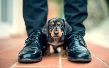 muzzle, look, dog, puppy, feet, dachshund, shoes, davide lopresti