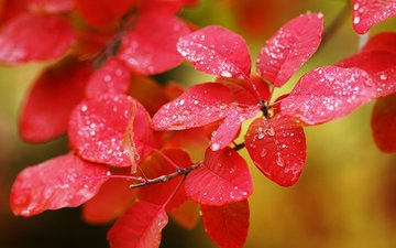 leaves, macro, branches, drops, autumn, plant