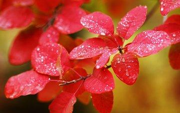 листья, макро, ветки, капли, осень, растение
