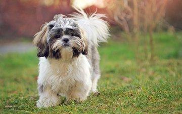 трава, мордочка, взгляд, собака, щенок, ши-тцу, elena sendler