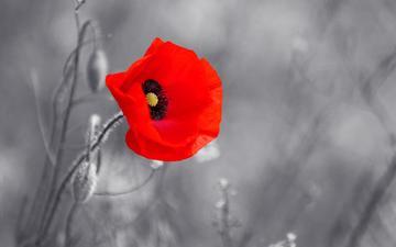 flower, red, mac