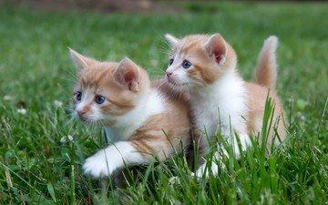 трава, усы, взгляд, кошки, котята, мордочки
