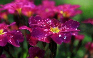 flowers, drops, petals, phlox