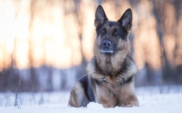 snow, winter, muzzle, look, dog, german shepherd
