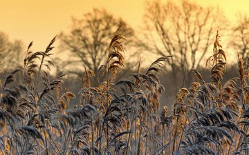 grass, nature, plants, macro, frost, spikelets, patrick frank