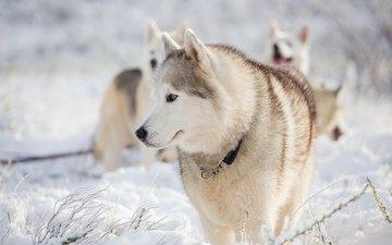 снег, зима, мордочка, взгляд, хаски, собаки