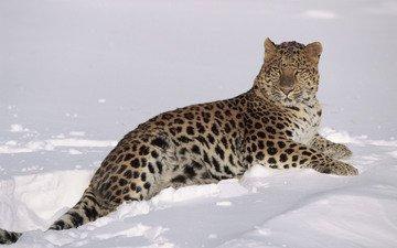 snow, winter, leopard, predator, big cat, lynn m. stone
