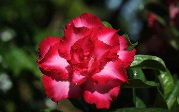 цветы, цветение, адениум, пустынная роза