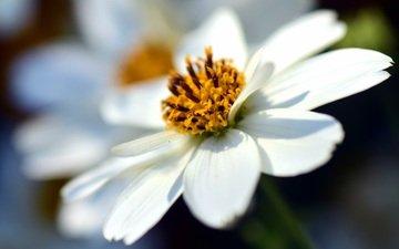 цветок, лепестки, размытость, космея, крупным планом