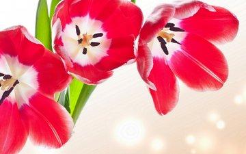 цветы, бутоны, лепестки, тюльпаны