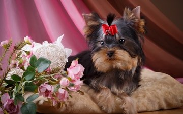 flowers, roses, dog, girl, puppy, bow, yorkshire terrier