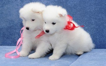look, puppies, dogs, faces, samoyed, northern sled