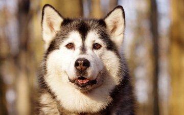 мордочка, взгляд, собака, хаски, аляскинский маламут, северная ездовая
