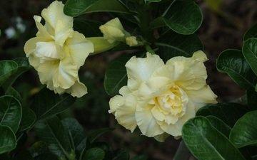 flowers, flowering, адениум, пустынная роза